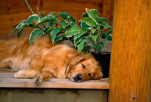 DOG 03 DB0021 01 © Kimball Stock Golden Retriever Sleeping By Plant On Porch