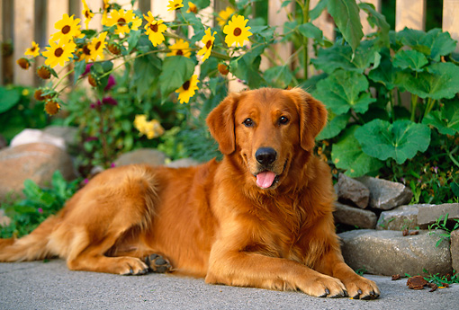 DOG 03 DB0027 01 © Kimball Stock Golden Retriever Laying By Flowers