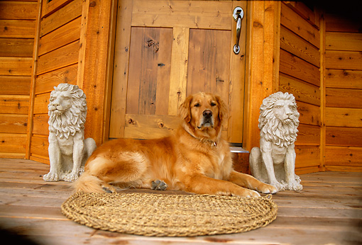 DOG 03 DB0030 01 © Kimball Stock Golden Retriever Laying On Cabin Porch
