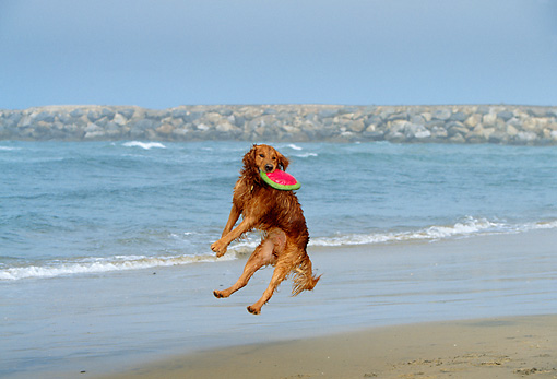 DOG 03 DB0033 01 © Kimball Stock Golden Retriever Catching Frisbee In Air At Beach