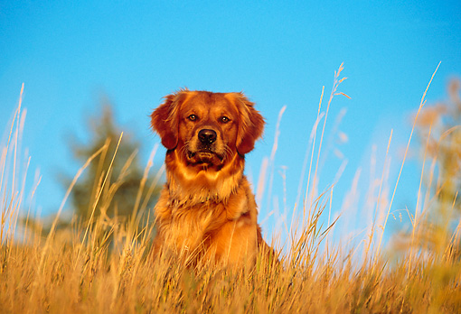 DOG 03 DB0036 01 © Kimball Stock Head Shot Of Golden Retriever In Field