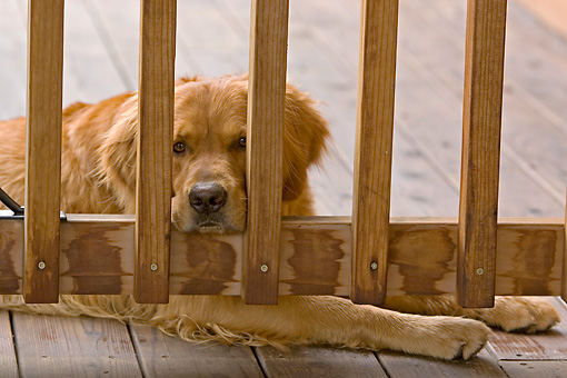 DOG 03 DB0040 01 © Kimball Stock Head Shot Of Golden Retriever Laying On Porch By Fence