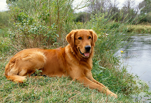 DOG 03 DB0043 01 © Kimball Stock Golden Retriever Laying On Grass By Lake