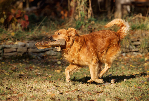 DOG 03 DB0044 01 © Kimball Stock Golden Retriever Running With Stick in Mouth