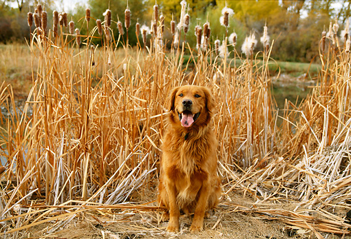 DOG 03 DB0045 01 © Kimball Stock Golden Retriever Sitting By Cattails