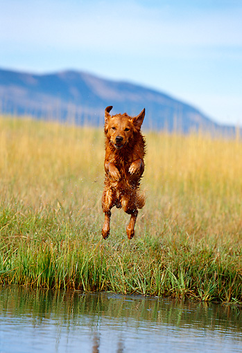 DOG 03 DB0046 01 © Kimball Stock Golden Retriever Jumping Into Lake