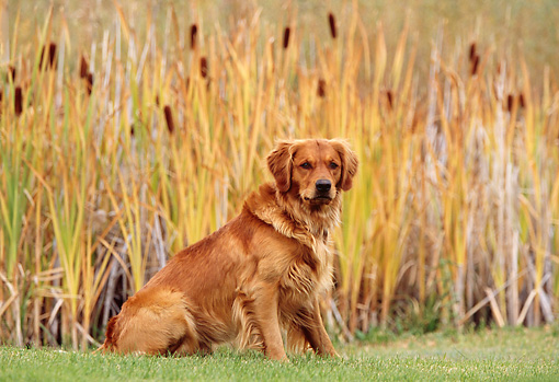 DOG 03 DB0054 01 © Kimball Stock Portrait Of Golden Retriever Sitting On Grass By Cattails In Autumn