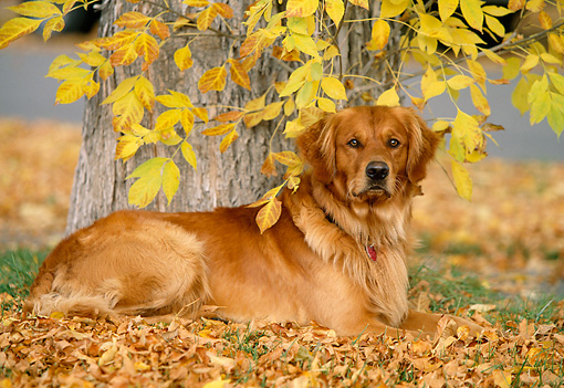DOG 03 DB0056 01 © Kimball Stock Portrait Of Golden Retriever Laying On Autumn Leaves Under Tree