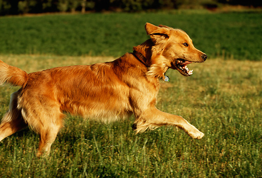 DOG 03 DB0058 01 © Kimball Stock Profile Of Golden Retriever Running Across Grass