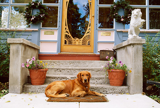 DOG 03 DB0060 01 © Kimball Stock Golden Retriever Laying On Mat Below Door And Front Steps