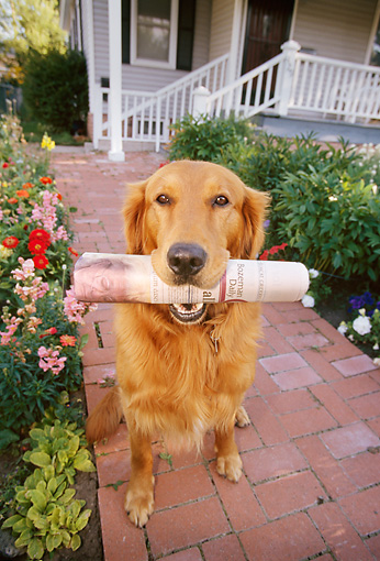 DOG 03 DB0061 01 © Kimball Stock Golden Retriever Holding Newspaper In Mouth