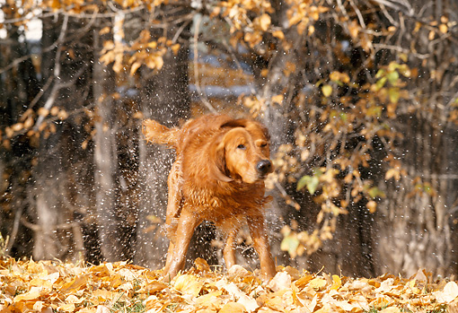 DOG 03 DB0062 01 © Kimball Stock Golden Retriever Shaking Off Water By Trees in Autumn
