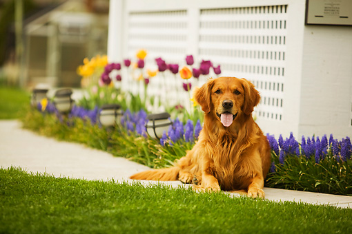 DOG 03 DB0069 01 © Kimball Stock Golden Retriever Laying On Sidewalk With Spring Flowers