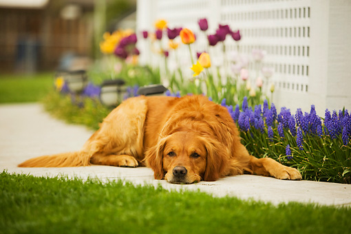 DOG 03 DB0070 01 © Kimball Stock Golden Retriever Laying On Sidewalk With Spring Flowers