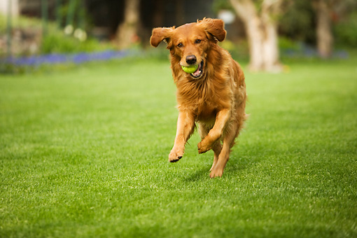 DOG 03 DB0071 01 © Kimball Stock Golden Retriever Playing On Grass With Tennis Ball
