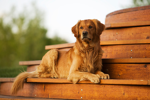 DOG 03 DB0073 01 © Kimball Stock Golden Retriever Laying On Porch Step