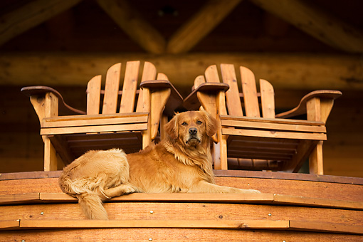 DOG 03 DB0074 01 © Kimball Stock Golden Retriever Laying On Porch Step Below Two Chairs