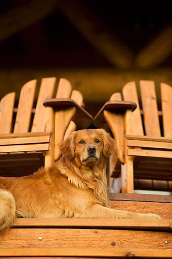 DOG 03 DB0075 01 © Kimball Stock Golden Retriever Laying On Porch Step Below Two Chairs