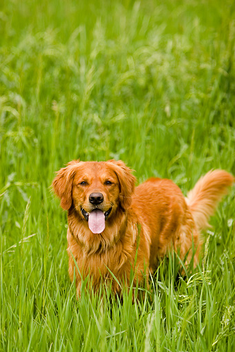 DOG 03 DB0077 01 © Kimball Stock Golden Retriever Standing In Tall Grass