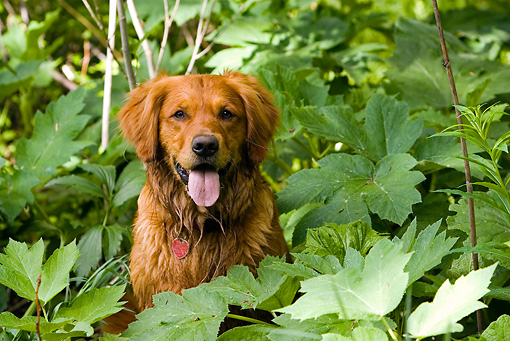 DOG 03 DB0078 01 © Kimball Stock Golden Retriever Sitting Amongst Plants