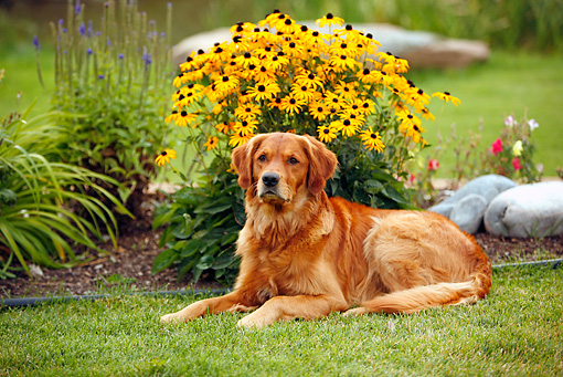 DOG 03 DB0083 01 © Kimball Stock Golden Retriever Laying On Grass By Yellow Flowers