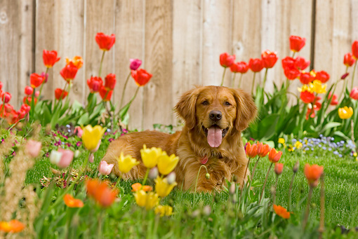 DOG 03 DB0084 01 © Kimball Stock Golden Retriever Laying On Grass By Flowers And Fence