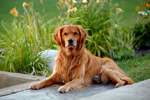 DOG 03 DB0085 01 © Kimball Stock Golden Retriever Laying On Pavement By Grass And Shrubs