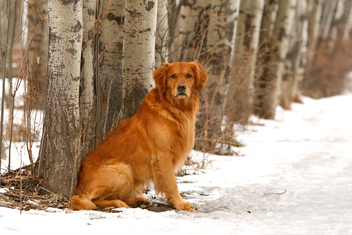 DOG 03 DB0088 01 © Kimball Stock Golden Retriever Sitting On Snow By Trees