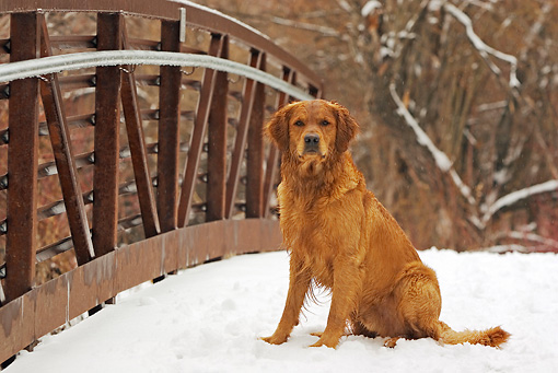 DOG 03 DB0089 01 © Kimball Stock Golden Retriever Sitting On Snow-Covered Bridge By Trees
