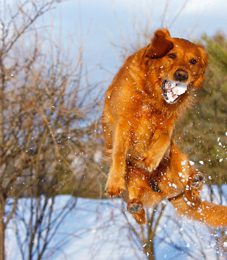 DOG 03 DB0092 01 © Kimball Stock Golden Retriever Jumping Up Catching Snowball