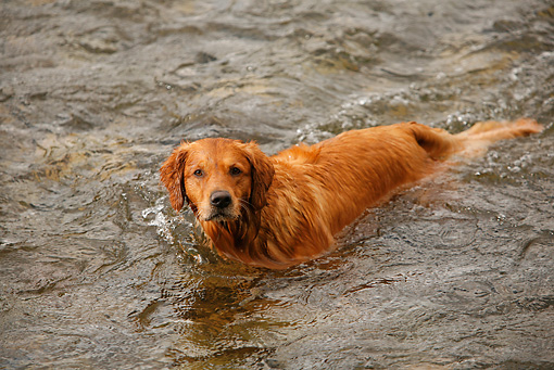 DOG 03 DB0094 01 © Kimball Stock Golden Retriever Standing In Water