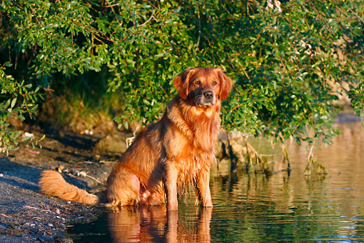 DOG 03 DB0098 01 © Kimball Stock Golden Retriever Sitting In Water On Lake Shore By Shrub