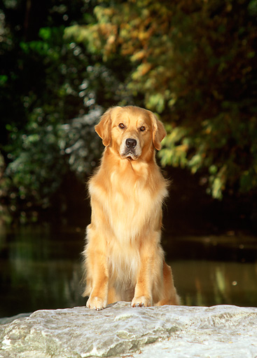 DOG 03 DC0020 01 © Kimball Stock Golden Retriever Stepping On Boulder By Trees