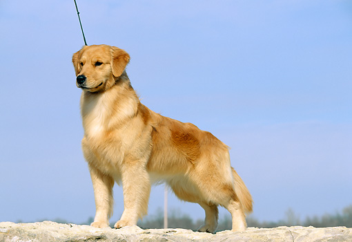 DOG 03 DC0029 01 © Kimball Stock Golden Retriever Standing Wearing Leash Blue Sky