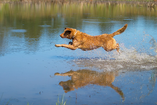 DOG 03 DC0043 01 © Kimball Stock Golden Retriever Jumping Above Water