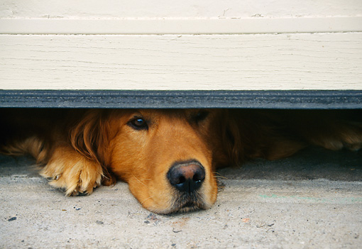 DOG 03 DS0001 01 © Kimball Stock Golden Retriever Peeking Out Under Garage  Door