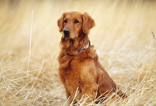 DOG 03 DS0004 01 © Kimball Stock Golden Retriever Sitting In Dry Grass Field