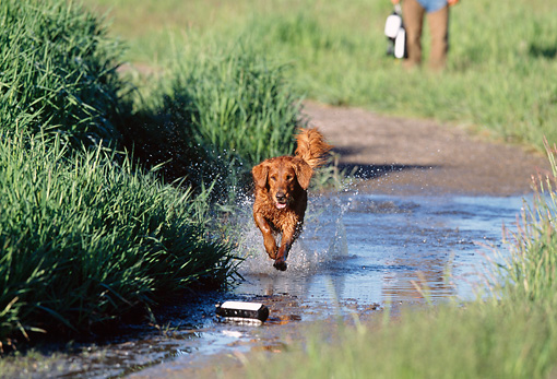 DOG 03 DS0009 01 © Kimball Stock Golden Retriever Running In Puddle Retrieving Dummy