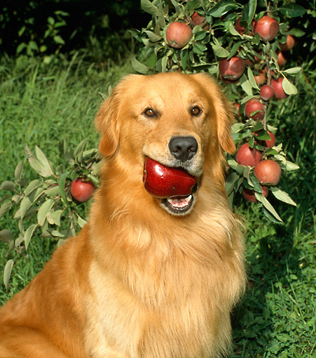 DOG 03 FA0003 01 © Kimball Stock Head Shot Of Golden Retriever Sitting With Apple In Mouth