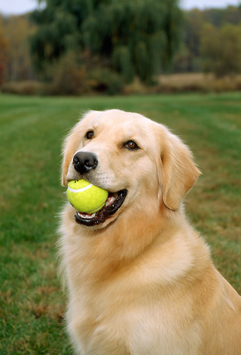 DOG 03 FA0004 01 © Kimball Stock Head Shot Of Golden Retriever Sitting With Tennis Ball In Mouth
