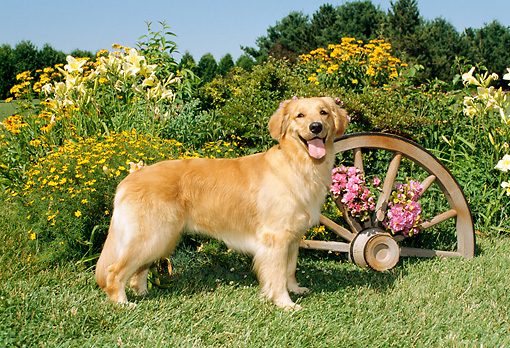DOG 03 FA0008 01 © Kimball Stock Golden Retriever Standing By Flowers And Wagon Wheel