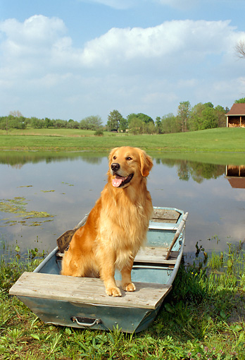 DOG 03 FA0011 01 © Kimball Stock Golden Retriever Standing In Rowboat On Pond By House Grass Trees Blue Sky