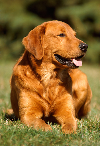 DOG 03 GR0001 01 © Kimball Stock Golden Retriever Laying On Grass