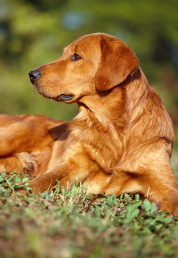 DOG 03 GR0001 03 © Kimball Stock Golden Retriever Laying On Grass