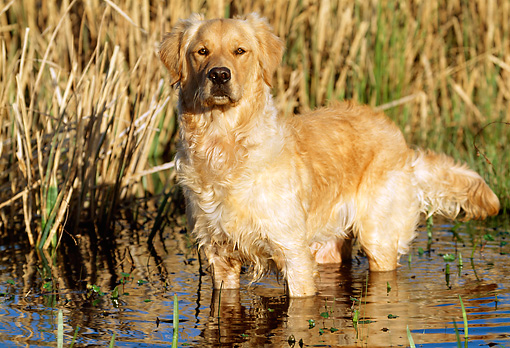 DOG 03 LS0005 01 © Kimball Stock Golden Retriever Standing In Shallow Marsh By Dry Grass