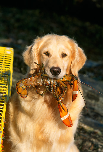 DOG 03 LS0006 01 © Kimball Stock Close Up Of Golden Retriever Holding Lobster In Mouth