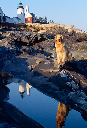 DOG 03 LS0007 01 © Kimball Stock Golden Retriever Sitting On Rocky Shore By Lighthouse