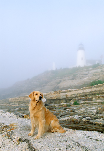 DOG 03 LS0008 01 © Kimball Stock Golden Retriever Sitting On Rocky Shore By Lighthouse In Fog
