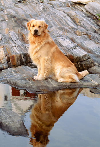 DOG 03 LS0009 01 © Kimball Stock Golden Retriever Sitting On Rocky Shore By Reflection Of Lighthouse