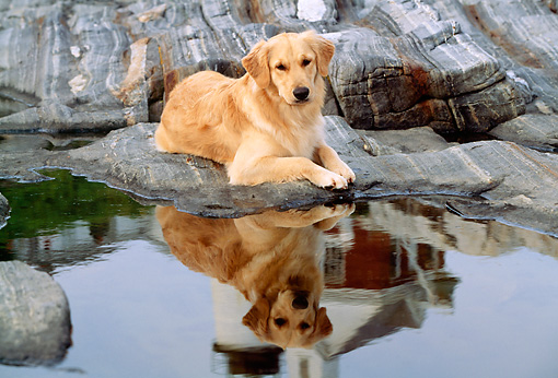 DOG 03 LS0010 01 © Kimball Stock Golden Retriever Laying On Rocky Shore By Reflection Of Lighthouse